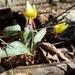 Erythronium umbilicatum - Photo (c) Suzanne Cadwell,  זכויות יוצרים חלקיות (CC BY-NC)