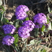 Abronia umbellata - Photo (c) Jerry Kirkhart, algunos derechos reservados (CC BY)