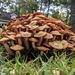 Desarmillaria caespitosa - Photo (c) Matthew Hammond,  זכויות יוצרים חלקיות (CC BY-NC)