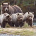 Oso Grizzli - Photo (c) Paul Steeves, algunos derechos reservados (CC BY-NC)