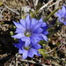 Gentians - Photo (c) Toshihiro Nagata, some rights reserved (CC BY-NC)