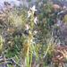 Prasophyllum amoenum - Photo (c) Keith Martin-Smith, μερικά δικαιώματα διατηρούνται (CC BY-NC-ND)