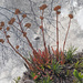 Karoo Stonecrop - Photo (c) Felix Riegel, some rights reserved (CC BY-NC)