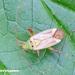 Adelphocoris quadripunctatus - Photo (c) Tuomo Virtanen, alguns direitos reservados (CC BY-NC)