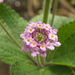 Ternate Lantana - Photo (c) Viracocha, some rights reserved (CC BY-NC)
