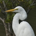 Eastern Great Egret - Photo (c) andrewpavlov, some rights reserved (CC BY-NC)