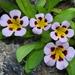 Diplacus rupicola - Photo (c) dgreenberger, algunos derechos reservados (CC BY-NC-ND)
