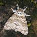 Lymantria mathura - Photo (c) Shipher (士緯) Wu (吳),  זכויות יוצרים חלקיות (CC BY-NC-SA)