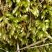 Brachythecium rutabulum - Photo (c) Susan Marley, algunos derechos reservados (CC BY)