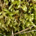 Rough-stalked Feather-Moss - Photo (c) Susan Marley, some rights reserved (CC BY)