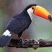 Toco Toucan - Photo (c) Paul Steeves, some rights reserved (CC BY-NC)