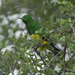 African Emerald Cuckoo - Photo (c) Francesco Veronesi, some rights reserved (CC BY-NC-SA)