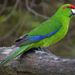 Red-crowned Parakeet - Photo (c) Oscar Thomas, some rights reserved (CC BY-NC-ND)