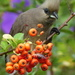 Speckled Mousebird - Photo (c) Colin Ralston, some rights reserved (CC BY-NC)