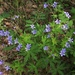 Geranium igoschinae - Photo (c) Mihail Knjasev, algunos derechos reservados (CC BY-NC)