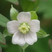 Geranium carolinianum - Photo (c) 葉子,  זכויות יוצרים חלקיות (CC BY-NC-ND)