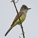 Myiarchus Flycatchers - Photo (c) Jerry Oldenettel, some rights reserved (CC BY-NC-SA)