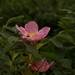 Metsäruusu - Photo (c) Klasse im Garten, osa oikeuksista pidätetään (CC BY-NC-ND)