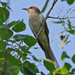 Coccyzus Cuckoos - Photo (c) Jerry Oldenettel, some rights reserved (CC BY-NC-SA)