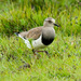 Black-winged Lapwing - Photo (c) Carol Foil, some rights reserved (CC BY-NC-ND)