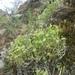 Adenonema cherleriae - Photo (c) Daba, algunos derechos reservados (CC BY-NC)