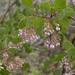 Arctostaphylos patula - Photo (c) Todd Ramsden, algunos derechos reservados (CC BY-NC)