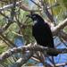 Cuervo Pescador - Photo (c) Greg Lasley, algunos derechos reservados (CC BY-NC)
