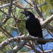 Corvus ossifragus - Photo (c) Greg Lasley,  זכויות יוצרים חלקיות (CC BY-NC)