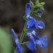 Salvia vitifolia - Photo (c) Leoncio Paz, μερικά δικαιώματα διατηρούνται (CC BY-NC)