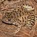 Crawfish Frog - Photo (c) johnwilliams, some rights reserved (CC BY-NC)