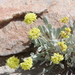 Eriogonum alexanderae - Photo (c) Janel Johnson, algunos derechos reservados (CC BY)