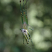Decorative Silver Orb Spider - Photo (c) hokoonwong, some rights reserved (CC BY-NC)
