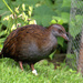 North Island Weka - Photo (c) Oscar Thomas, some rights reserved (CC BY-NC-ND)