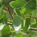 Colophospermum mopane - Photo (c) ASSEDE Eméline S.P.,  זכויות יוצרים חלקיות (CC BY-NC)