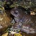 Alsodes australis - Photo (c) Martin Arregui, algunos derechos reservados (CC BY-NC)
