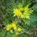 Sanicula arctopoides - Photo (c) Moses Alvarez, algunos derechos reservados (CC BY-NC)