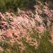Pasto Africano Rosado - Photo (c) Teale Britstra, algunos derechos reservados (CC BY-NC-ND)