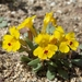 Carson Valley Monkeyflower - Photo (c) Jim Morefield, some rights reserved (CC BY)