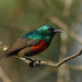 Northern Double-collared Sunbird - Photo (c) Tom Tarrant, some rights reserved (CC BY-SA)