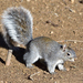 Arizona Gray Squirrel - Photo (c) Ad Konings, some rights reserved (CC BY-NC)