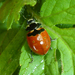 Coccinella trifasciata subversa - Photo (c) Robin Gwen Agarwal, algunos derechos reservados (CC BY-NC)