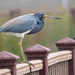 Tricolored Heron - Photo (c) Susan Elliott, some rights reserved (CC BY-NC)