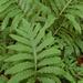 Onoclea sensibilis - Photo (c) myiarchus22, μερικά δικαιώματα διατηρούνται (CC BY-NC)