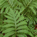 Sensitive Fern - Photo (c) myiarchus22, some rights reserved (CC BY-NC)