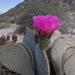 Nopal del Castor - Photo (c) Katy, algunos derechos reservados (CC BY-NC)