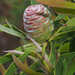 Leucadendron coniferum - Photo (c) Felix Riegel, μερικά δικαιώματα διατηρούνται (CC BY-NC)