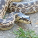 Urartian Ratsnake - Photo (c) Tom Kirschey, some rights reserved (CC BY-NC)