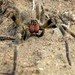 Brazilian Wandering Spider - Photo (c) Techuser, some rights reserved (CC BY-SA)