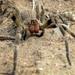 Araña del Banano - Photo (c) Techuser, algunos derechos reservados (CC BY-SA)