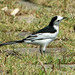 Black-backed Wagtail - Photo (c) Ray Cui, some rights reserved (CC BY-NC-SA)
